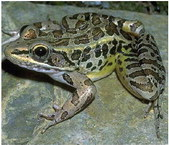 Learn the ʻcalls of the frogs'