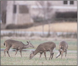 Deer hunts within city limits available to hunters in Helena-West Helena